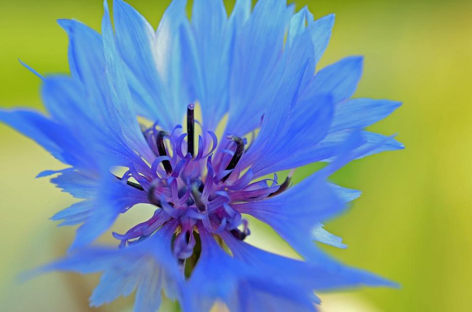 cornflower-50965_960_720